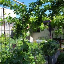 Plummery_Apple tree and veggie patch.jpg