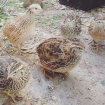 Plummery_Covey of quails.jpg