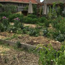Reservoir_Pea straw on veggie patch.jpg