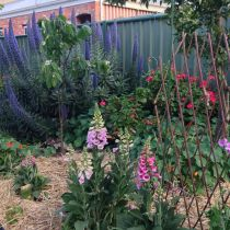 Cameron St_Hollyhocks and echium.jpg