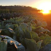 Day's Walk_Evening cabbages.jpg