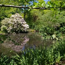 Dreamthorpe_Pond and rhododendron.jpg