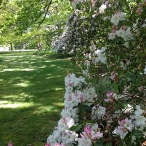 Dreamthorpe_Lawn and rhododendrons.jpg