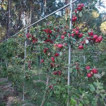 Eungella_Apples on trellis.jpg