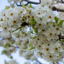 Close-up Manchurian Pear Blossom