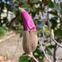 Magnolia flower bud with winter cap