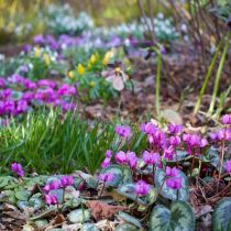 Cyclamen coum and woodland bulbs