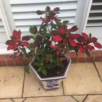 Poinsettia - in pot