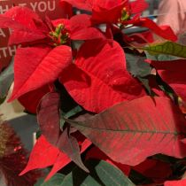 Poinsettia - red close up