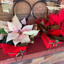 Poinsettia - pink and red boxed