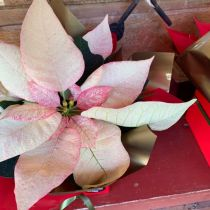 Poinsettia - pink close up