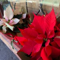 Poinsettia - red and pink boxed