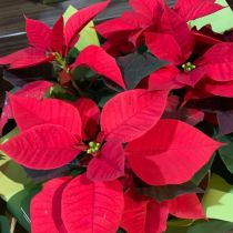Poinsettia - red clos up