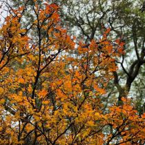 Crepe Myrtle - autumn leaves