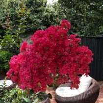 Crepe Myrtle - showing the frilling blooms