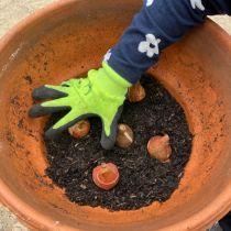 First layer of potting mix - then bulbs or tulips or hyacinths