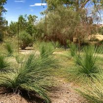 Coliban Springs grass trees