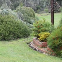 Candlebark banksias and lawn