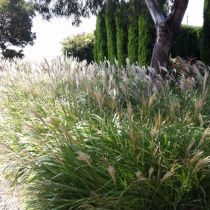 pennesetum and cypress