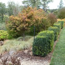maple and box hedging