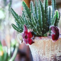 potted Stapelia