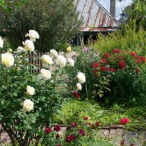 Ziebell_red and white roses.jpg